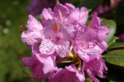 Rhododendron 9